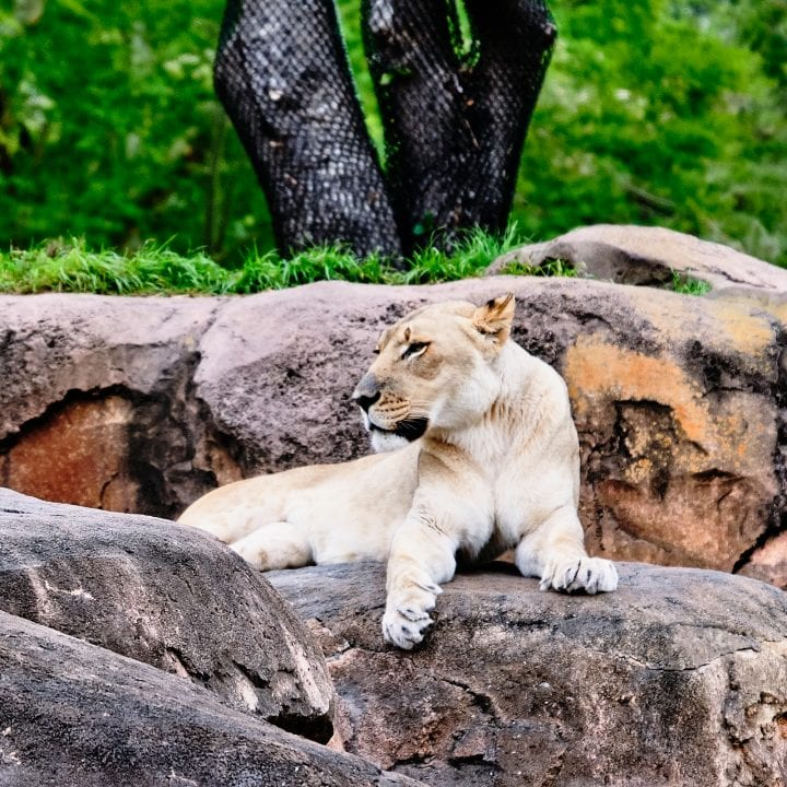 Ultimate Guide to Kilimanjaro Safaris by Disney - Lioness